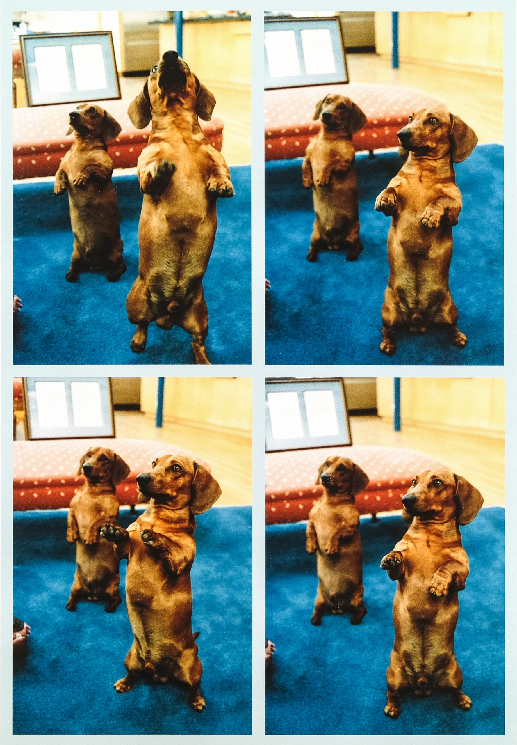 David Hockney, 4 x 2 Hunde